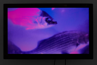 A wall mounted tv monitor plays a video of small fish swimming under ultraviolet light