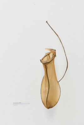 Bacterial cellulose stretched around armature wire to resemble a pitcher plant