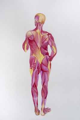 A drawing from an anatomy class of the muscular system. The drawing is a full body view of the exposed muscles illustrated in shades of red, pink, and yellow.