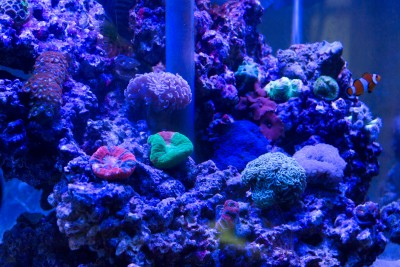 Close view of salt water reef aquarium housing various soft corals and clown fish. The tank is illuminated by ultraviolet light, which makes visible the bioluminescent qualities or the organisms